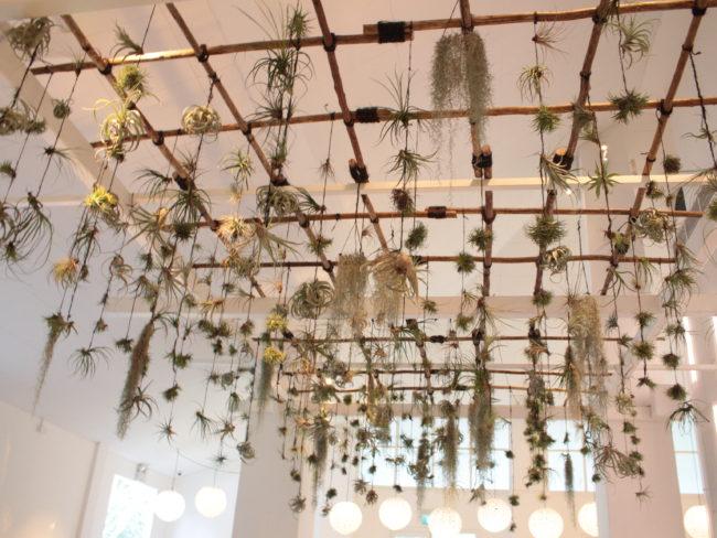 天井から植物